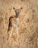Serengeti - Newborn Thompson's Gazelle