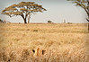 Serengeti - Lion Surveying the Landscape
