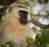 Tarangire Park - Black Faced Vervet Monkey