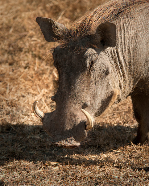 Ngorongoro Crater - Warthog