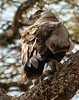 Serengeti - Martial Eagle