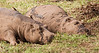 Ngorongoro Crater - Napping Hippos