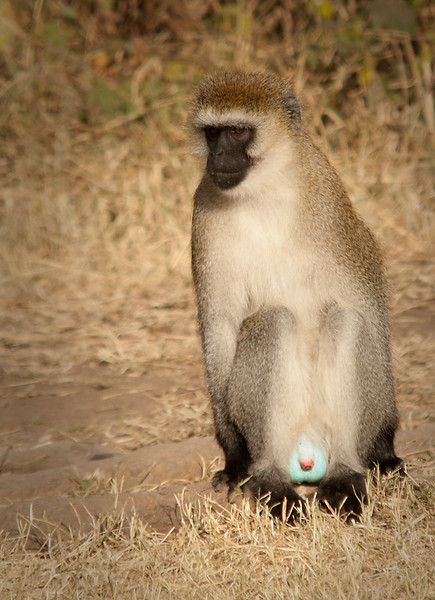 Ngorongoro Crater - Black-faced Vervet Monkey