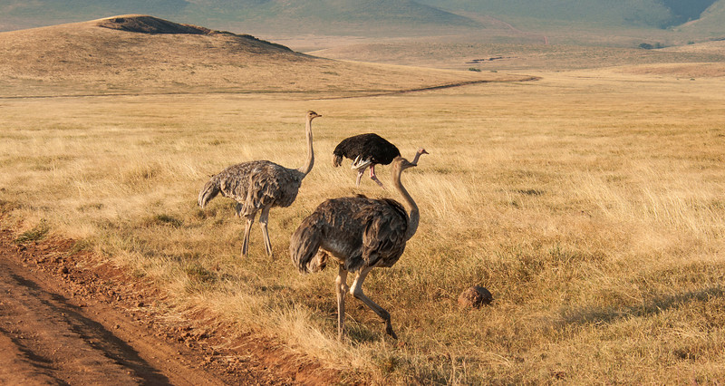 Ngorongoro Crater - Female Ostrich