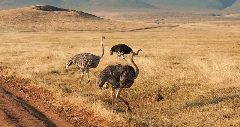 Ngorongoro Crater - Female Ostrich