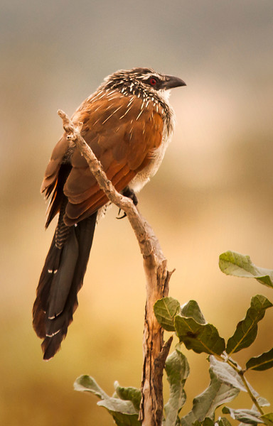 Tarangire Park - Cuckoo