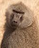 Ngorongoro Crater - Olive Baboons