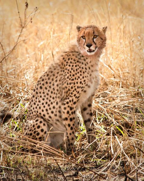 Tanzania 2013 - Day 9, 10, & 11 - Serengeti - Three young male cheetahs