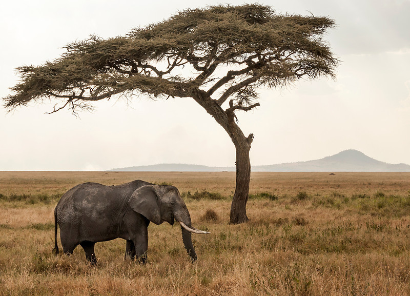 Serengeti - Elephant and Acacia Tree
