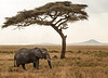 Serengeti - Elephant and Acacia Tree