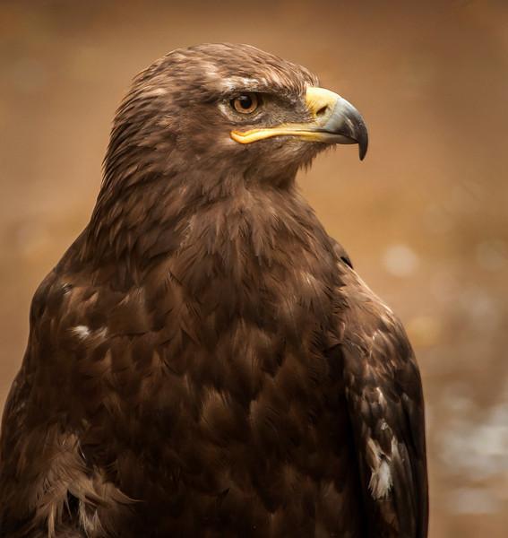 Mount Meru   - Tawny Eagle