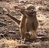 Ngorongoro Crater - Baby Olive Baboon