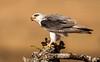 Serengeti - Black Shouldered Kite with Prey