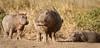 Serengeti _Hippos