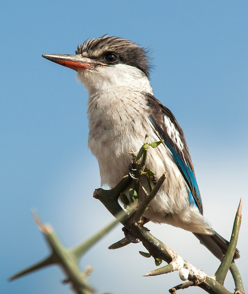 Serengeti - Striped Kingfisher