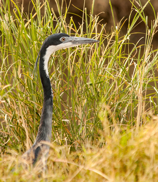 Serengeti - Black Headed Heron