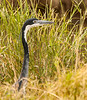 Serengeti - Black Headed Heron