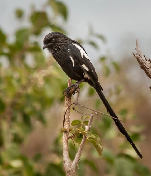 Tarangire Park - Magpie Shrike