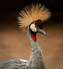 Mount Meru - Crowned Crane