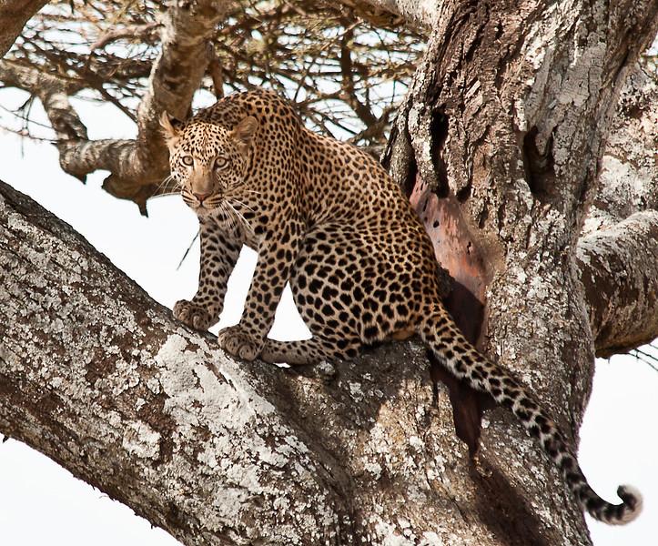 Serengeti - Leopard