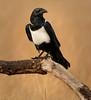 Tarangire Park - Pied Crow