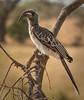 Serengeti - Hornbill