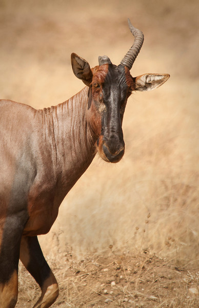 Serengeti - Topi