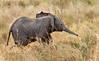 Serengeti - Young Elephant