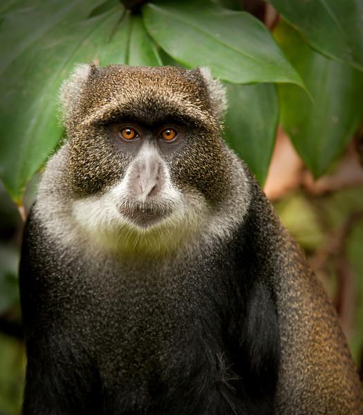 Mount Meru - Blue Monkey