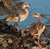 Serengeti - Egyptian Geese