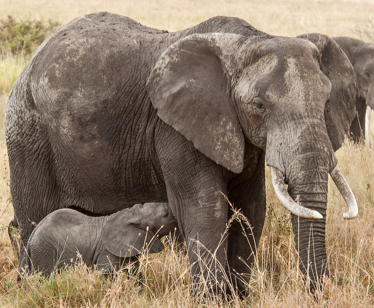 Serengeti - Nursing Elephant