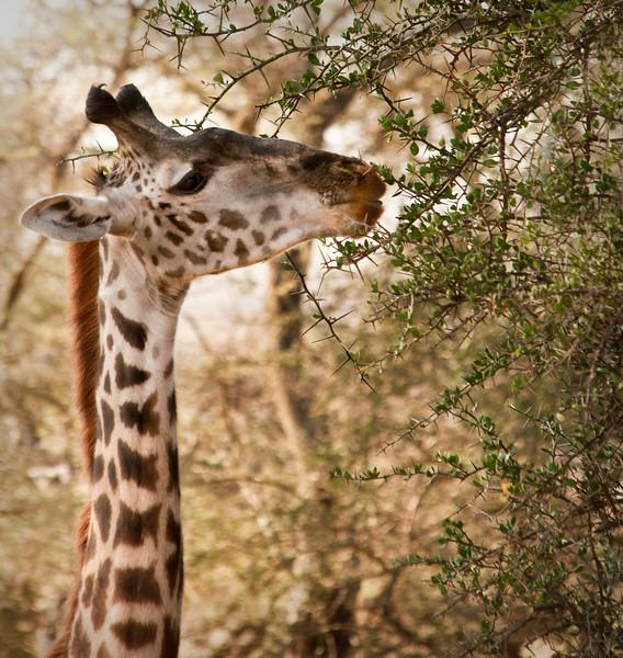Tanzania 2013 - Day 9, 10, & 11 - Serengeti - Giraffe in the Lemala Camp