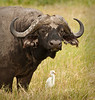 Ngorongoro Crater - Cape Buffalo & Cattle Egret