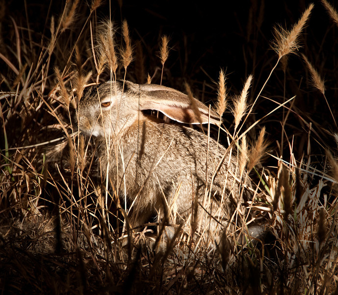 Tarangire Park - Rabbit seen at night game drive