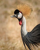 Ngorongoro Crater - Crown Crane