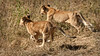 Serengeti - Lion Cubs