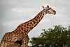 Tarangire Park - Giraffe