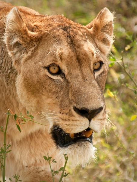 Ngorongoro Crater - Lioness