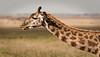 Serengeti - Giraffe