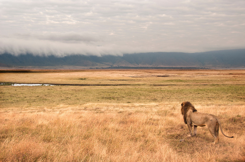 Ngorongoro Crater - Lion at Dawn
