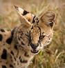 Ngorongoro Crater - Serval