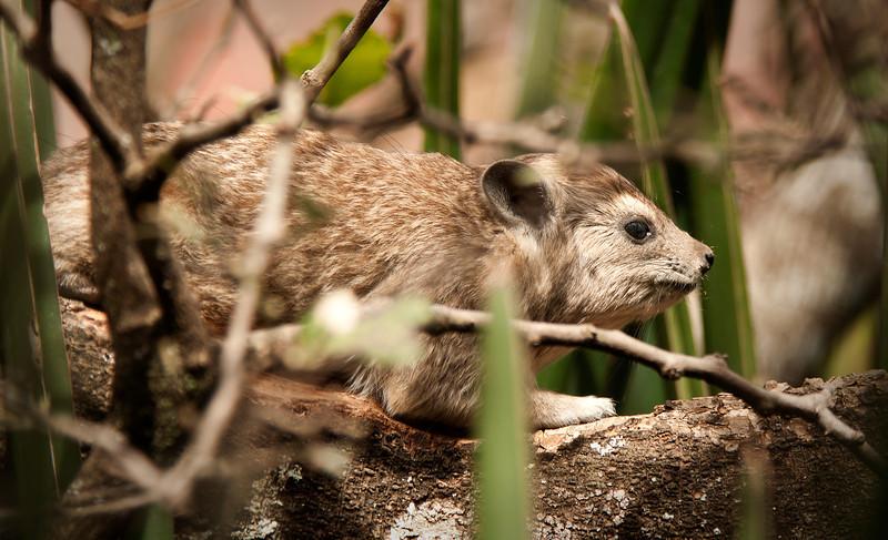 Serengeti - Hyrax