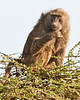 Serengeti - Baboon in Top of Acacia Tree