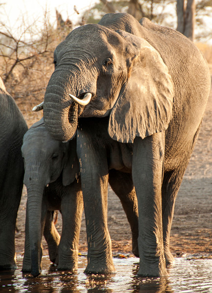 Serengeti - Elephants at Waterhole at Sunset
