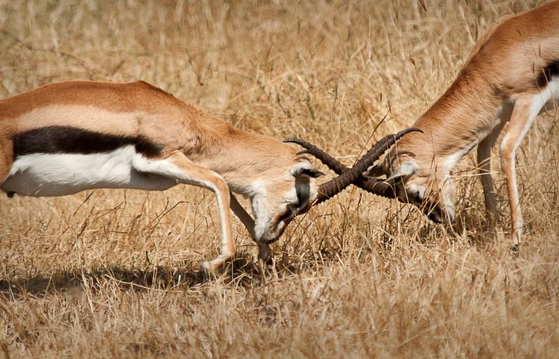 Ngorongoro Crater - Thompson's Gazelle
