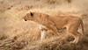 Ngorongoro Crater - Hunting Lioness