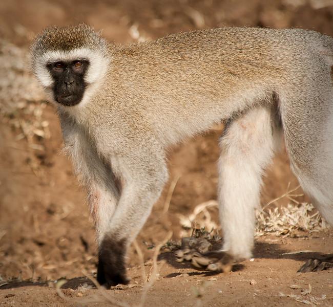 Serengeti - Black Faced Vervet Monkey