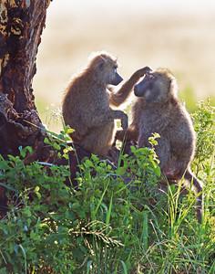 baboons grooming in Serengeti National Park, Tanzania