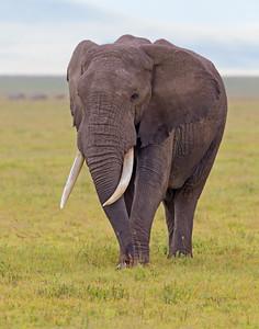 elephant in Ngorongoro Crater Conservation Area, Tanzania