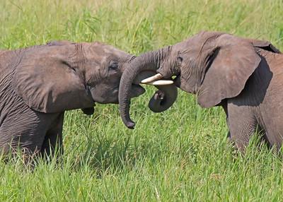young elephants sparring in Tarangire National Park, Tanzania